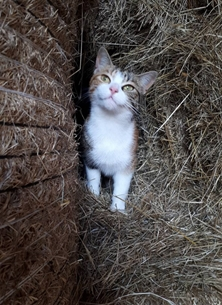 Mucky boots farm cards Barn cat photography cat, white, farm, hay, tabby, barn,female,  photography  personalised online greeting card