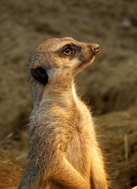Photography meerkats animals deserts  Africa wildlife for-her for-him for-child husband wife son daughter personalised online greeting card