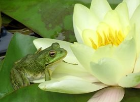 Debbie Daylights Frog on water lily Photography frogs water lily ponds green flowers lillies personalised online greeting card