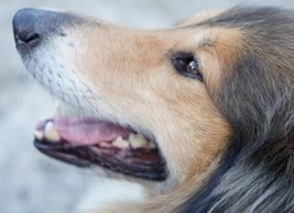 Pet Pics n Portraits Flyn Photography Rough Collie,Pet animals personalised online greeting card