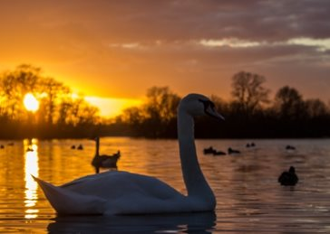 Photography Sunsets, Landscapes, swans, birds, photography, nature, wildlife, orange, sunrise personalised online greeting card