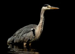 John Lindsey Photography Grey Heron Photography wild, life, wildlife, grey, heron, herons, grey heron, grey heron, water, bird, birds, water, black background, black, background, feather, feathers, reflect, reflection, reflections, personalised online greeting card
