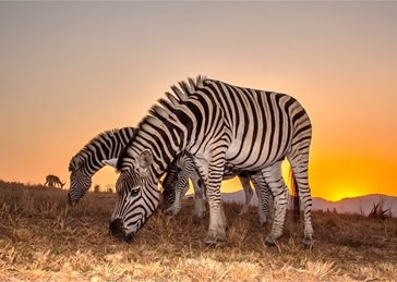 Photography zebra, animal, line, lines, pattern, patterned, striped, stripes, white, africa, wildlife, mammal, safari, wild, stripe, nature, conservation, mane, african, mammals, zebras, africa wildlife, sunset personalised online greeting card