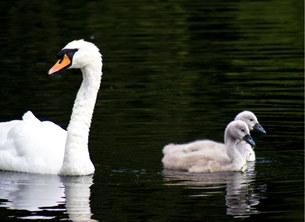 Mothers Mothers, mother's, Swan, Cygnets, -her, mum, mam, grandma, grandmother, photography, photographic, birds, nature, wildlife, general personalised online greeting card
