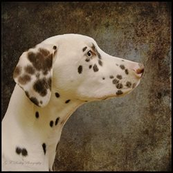 Pet Pics n Portraits Dalmation General Dalmation, dog, spotted, dally, animal personalised online greeting card
