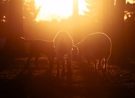 General  mates, goat, dog, sheep, sunset, golden, friends, three personalised online greeting card
