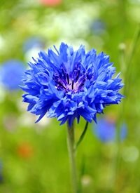 Photography centaurea aster cornflowers knapweed blue fields  flowers plants for-her personalised online greeting card