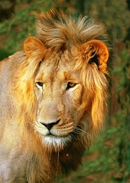 Photography male lion, african wildlife, personalised online greeting card