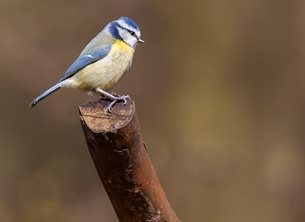 John Lindsey Photography Blue Tit photography wild, life, wildlife, bird, birds, nature, nature, tit, tits, blue, blue tit, blue tits, branch,  personalised online greeting card