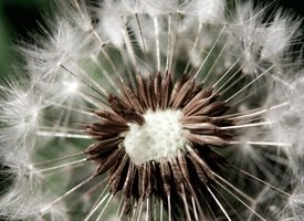 General Dandelion, wish, macro, for-him, for-her, flower personalised online greeting card