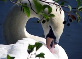 Photography Swan, bird, duck, white, sleep, lake personalised online greeting card