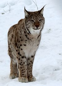 Photography lynx animals mammal snow wildlife cat spots z%a personalised online greeting card