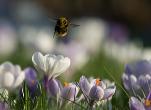 Kate Jaconello The Bee & The Crocuses Photography bee bumblebee crocus crocuses flowers greenwich park london nature wildlife photography  personalised online greeting card