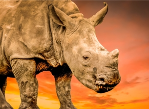 Photography ^Rhino^, ^rhinoceros^, ^Africa^ animal, ^nature^, rhino, animal, wildlife, photography  personalised online greeting card