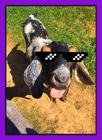 Black Bunny Designs and Greetings Gangster Goat General goat, silly, funny, sunglasses, barnyard animals, farm, meme, sassy, spring   personalised online greeting card