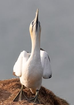 Photography Gannets, seabirds, birds, nature, wildlife, coast, sea,  personalised online greeting card