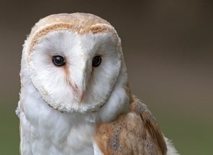 O Scrimshaw Photography Barn Owl Photography For-him, for-her general, Barn owl, birds, owls, nature, wildlife,, photography, bird, owl, eye, feather, animal, nature, beak, portrait, looking, cute, falconry, zoo, animal wildlife, bird of prey, animal themes personalised online greeting card