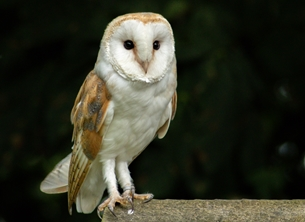 ^barn owl^, ^falconry^ personalised online greeting card