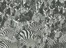 Recorded in Art Zebra Crossing  personalised online greeting card
