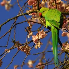 photography Parakeet, Cherry Blossom, Bird, Flower personalised online greeting card
