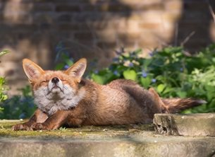 Photography fox smile sunbathing happy upbeat animal animals smiling funny comedy birthday wildlife nature general personalised online greeting card