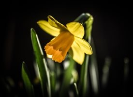 General flower, daffodil, yellow, nature, garden, photography, norbury, Easter, personalised online greeting card