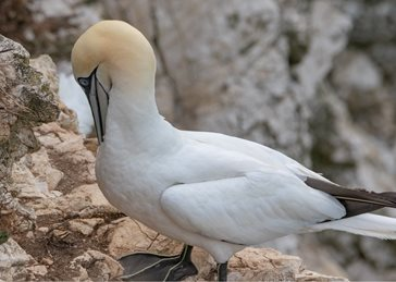 Photography Gannet, seabird, bird, wildlife, nature, birds, photography  personalised online greeting card