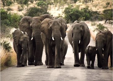 Helen Jobson Photographer Elephant Family Walking  Photography African Elephants, Pilanesberg Game Reserve, South Africa, family, personalised online greeting card