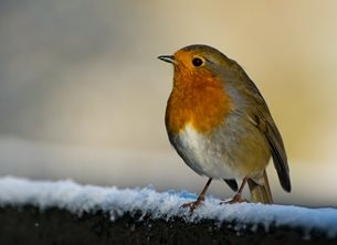 Chappers Photography Robin in the Snow photography christmas Robin, Snow, Christmas, wildlife, bird personalised online greeting card