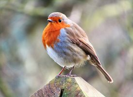 Wight Life Images Bobbin' Robin photography  Robin animals z%a personalised online greeting card