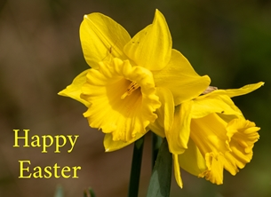 Easter EASTER, greetings, cards, flower, yellow, daffodils, petals, blank,  personalised online greeting card