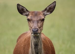 Dale Christie Photography Look Into My Eyes Photography Deer , Eyes , Look , Brown , Mammal, Spring ,  personalised online greeting card