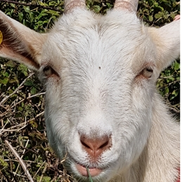 Just a goat