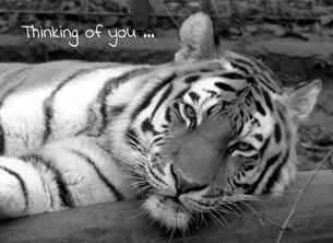Thinking of you ... tiger