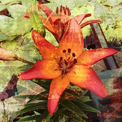 photography  lily flowers  summer orange z%a personalised online greeting card