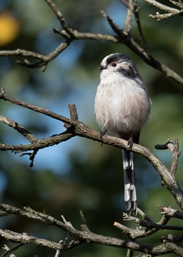 photography longtailedtit long tailed tit bird birds photography photograph nature wildlife personalised online greeting card
