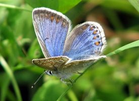Debbie Daylights Chalkhill Blue butterfly Photography chalkhill blue butterfly butterflies insects for-her personalised online greeting card