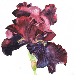 General Iris, dark burgundy, dark red, flower, floral personalised online greeting card