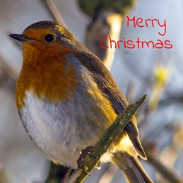 Christmas Robin, Redbreast, orange,  birds, Christmas  personalised online greeting card