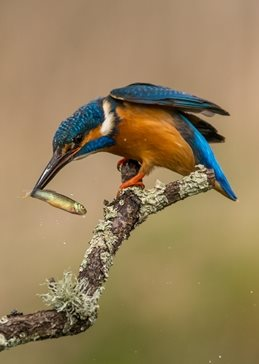 photography kingfisher, wildlife, bird, fish personalised online greeting card