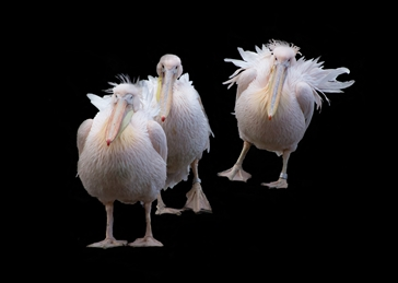photography pelican pelicans bird birds photography funny comical wildlife nature urban personalised online greeting card