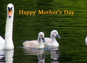 Mothers Mothers, mother's, grandmothers, grandma, swans, Cygnets, nature, wildlife, photography, personalised online greeting card