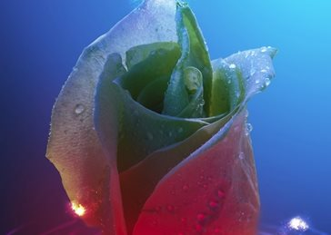 Miyasia Rippling Rose and Lights Photography General ripple, water, water drop, waterdrop, rose, light, color, pink, blue, rainbow personalised online greeting card