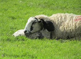 photography  sheep z%a personalised online greeting card