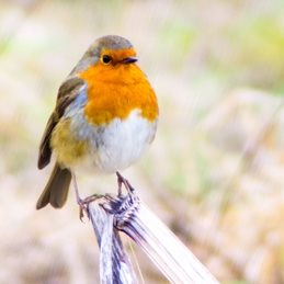 Photography Christmas Robins, birds, nature, wildlife  photography redbreast white red orange personalised online greeting card