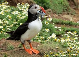 Photography puffin bird beak fish skomer Wales white flowers animals z%a personalised online greeting card