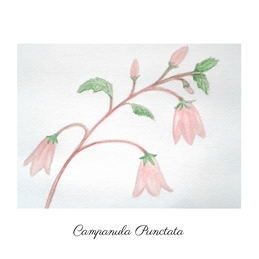 CrystalClear Campanula Punctata  Birthday watercolours for-her birthday valentine pink gardens flowers personalised online greeting card