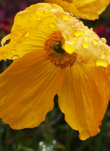 Photography Poppy, yellow, colour, raindrops, flower personalised online greeting card