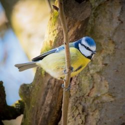 General British Birds, Birds, garden birds, blue tit, Easter, spring, animals, nature, wildlife, garden personalised online greeting card