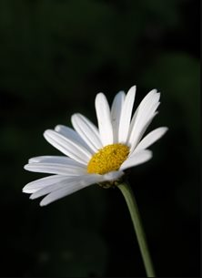 Photography single  daisy solo flower picked stem petals white green black personalised online greeting card